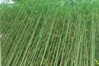 小琴丝竹的养护方法
